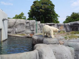 Eisbär Zoo Kopenhagen